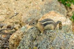 在岩石的花栗鼠 库存照片