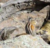 在岩石的花栗鼠 免版税库存图片