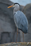 在岩石的苍鹭鸟 库存图片