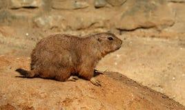 在岩石的草原犬鼠ludovicianus 免版税图库摄影