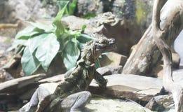 在岩石的菲律宾Sailfin蜥蜴 免版税库存图片