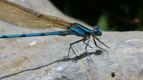 在岩石的蓝色蜻蜓 免版税库存照片
