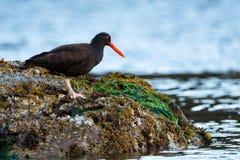 在岩石的蛎鹬鸟 免版税库存图片