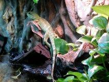 在岩石的蜥蜴在植物中 图库摄影
