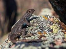 在岩石的蜥蜴,关闭 免版税库存图片