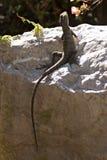 在岩石的蜥蜴 库存图片