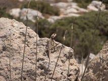 在岩石的蜥蜴 免版税库存图片