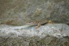 在岩石的蜥蜴 免版税库存照片