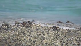 在岩石的螃蟹在海滩 股票视频