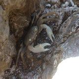 在岩石的螃蟹 库存图片