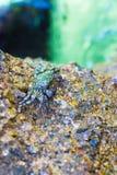 在岩石的螃蟹 螃蟹有在岩石的一sunbath在海附近 免版税库存照片