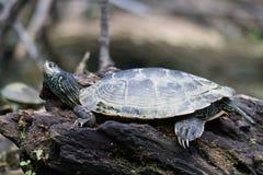 在岩石的被绘的乌龟 图库摄影