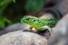 在岩石的起斑纹的绿蜥蜴 免版税库存照片