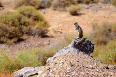 在岩石的逗人喜爱的棕色灰鼠 免版税库存照片