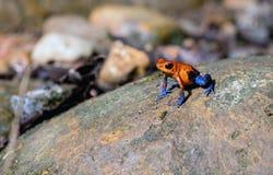 在岩石的逗人喜爱的蓝色牛仔裤青蛙 库存图片