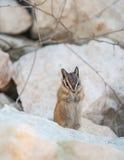 在岩石的逗人喜爱的chipmank在黄昏 图库摄影