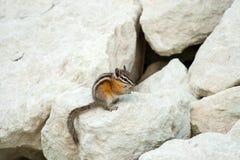 在岩石的逗人喜爱的chipmank在黄昏 库存图片