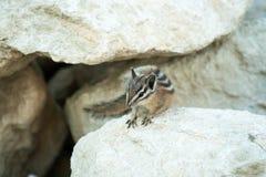 在岩石的逗人喜爱的chipmank在黄昏 免版税图库摄影