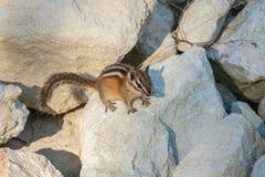 在岩石的逗人喜爱的chipmank在黄昏 库存照片