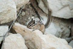 在岩石的逗人喜爱的chipmank在黄昏 免版税库存图片