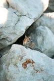 在岩石的逗人喜爱的chipmank在黄昏 免版税库存照片