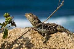 在岩石的野生蜥蜴 库存照片