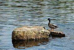 在岩石的野鸭在湖 免版税图库摄影