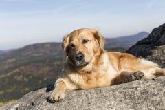 在岩石的金毛猎犬休息 免版税库存图片