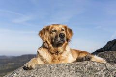 在岩石的金毛猎犬休息 图库摄影
