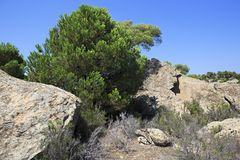 在岩石的针叶树 免版税图库摄影