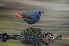 在岩石的铅Redstart鸟 免版税库存图片