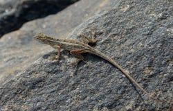 在岩石的长尾巴小的蜥蜴本质上 库存图片