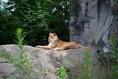 在岩石的雌狮 库存图片