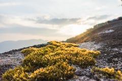 在岩石的青苔树有日落背景 免版税图库摄影