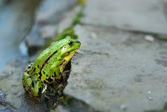 在岩石的青蛙在池塘附近 免版税库存照片