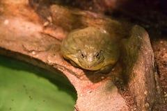 在岩石的青蛙在水附近 免版税库存图片