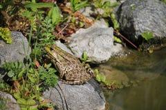 在岩石的青蛙 图库摄影