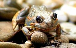 在岩石的青蛙 库存照片