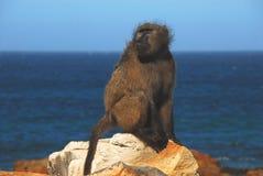 在岩石的非洲开普角狒狒有海背景 库存图片