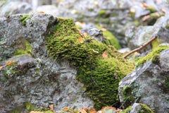 在岩石的驯鹿青苔 免版税图库摄影