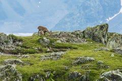 在岩石的高山山羊,登上比亚恩科,登上Blanc,阿尔卑斯,意大利 图库摄影