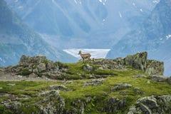 在岩石的高山山羊,登上比亚恩科,登上Blanc,阿尔卑斯,意大利 库存图片
