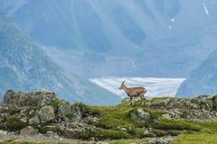 在岩石的高山山羊,登上比亚恩科,登上Blanc,阿尔卑斯,意大利 免版税图库摄影