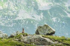 在岩石的高山山羊,登上比亚恩科,登上Blanc,阿尔卑斯,意大利 库存照片