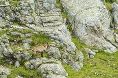 在岩石的高山山羊,登上比亚恩科,登上Blanc,阿尔卑斯,意大利 免版税库存照片