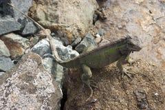 在岩石的鬣鳞蜥 库存照片