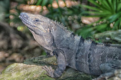 在岩石的鬣鳞蜥 免版税库存照片