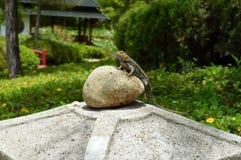 在岩石的鬣鳞蜥 免版税图库摄影