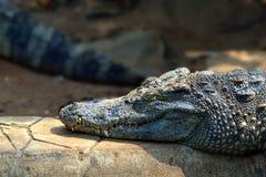 在岩石的鳄鱼睡眠 库存图片