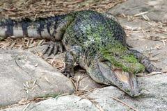 在岩石的鳄鱼 库存图片
